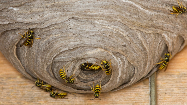 Phoenix Arizona Wasp Hornets Nest Beehive Remove North Scottsdale Paradise Valley