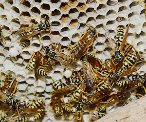 Arizona desert hornet nest wasp and beehive removal Scottsdale Paradise Valley Goodyear Peoria Glendale Surprise Buckeye Avondale