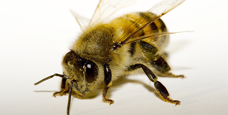 Bees pest control beehive removal in Phoenix North Scottsdale Paradise Valley Goodyear Peoria Litchfield Park Buckeye Avondale AZ