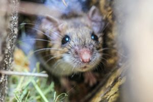Is it Mice or Rats? How to Know What Pest You Have?