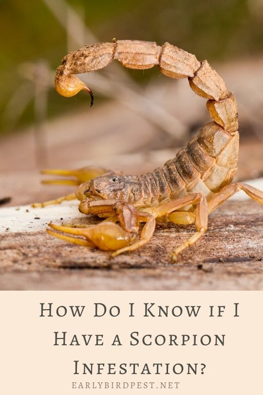 How Do I Know if I Have a Scorpion Infestation?