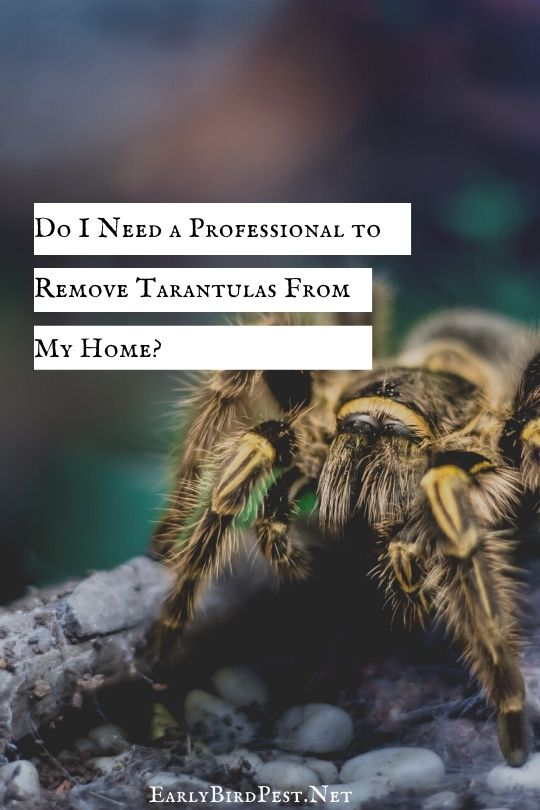 Do I Need a Professional to Remove Tarantulas From My Home?