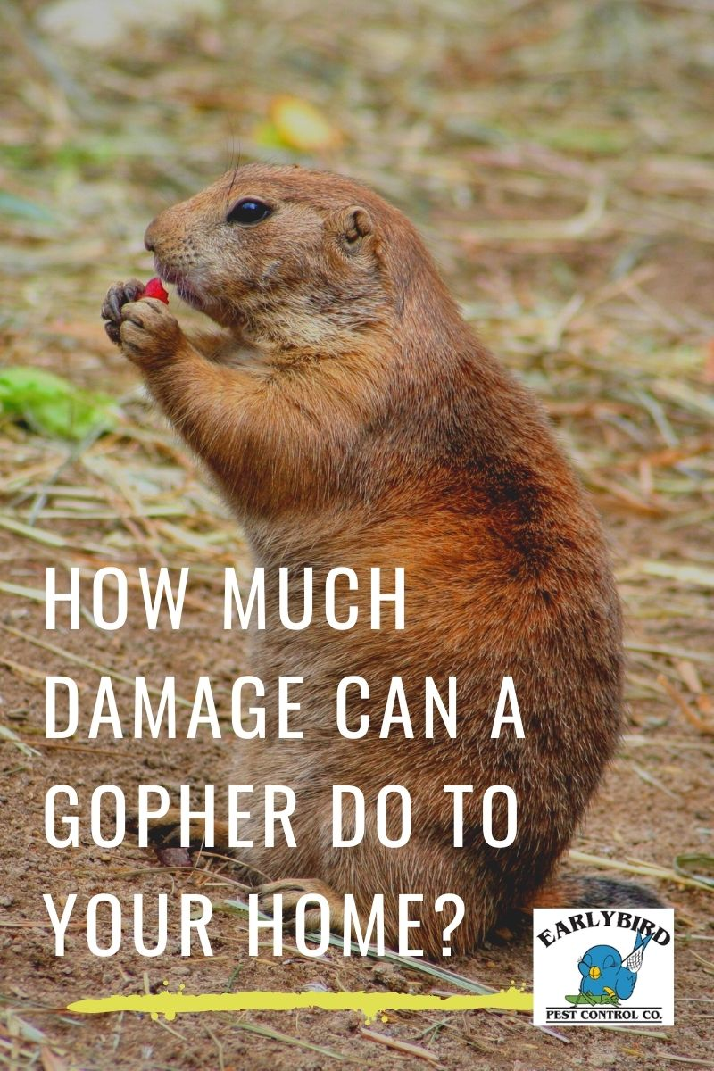 How Much Damage Can A Gopher Do To Your Home?