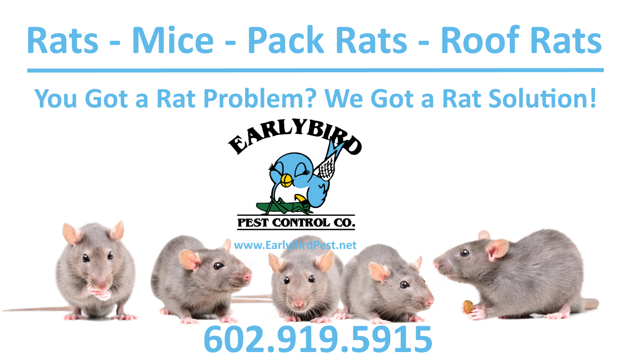 Rat and rodent exterminator in North Scottsdale Arizona in the Phoenix Valley including Paradise Valley