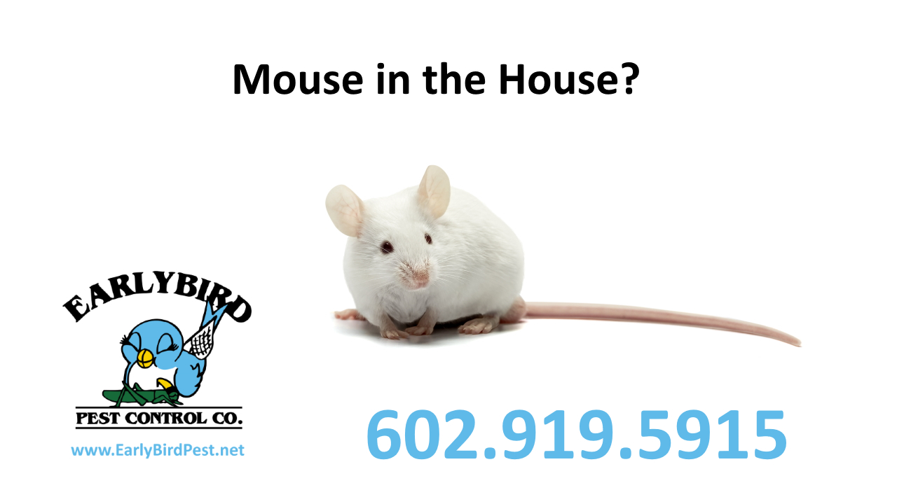 Mouse in your Arizona house mouse mice rodent exterminator and pest control Phoenix AZ