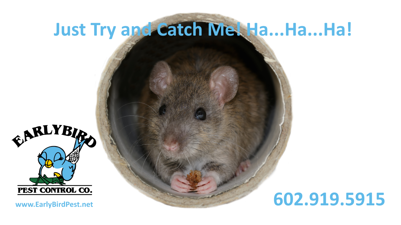 North Scottsdale and Scottsdale AZ rat removal rodent exterminator pack rats roof rats Scottsdale Arizona