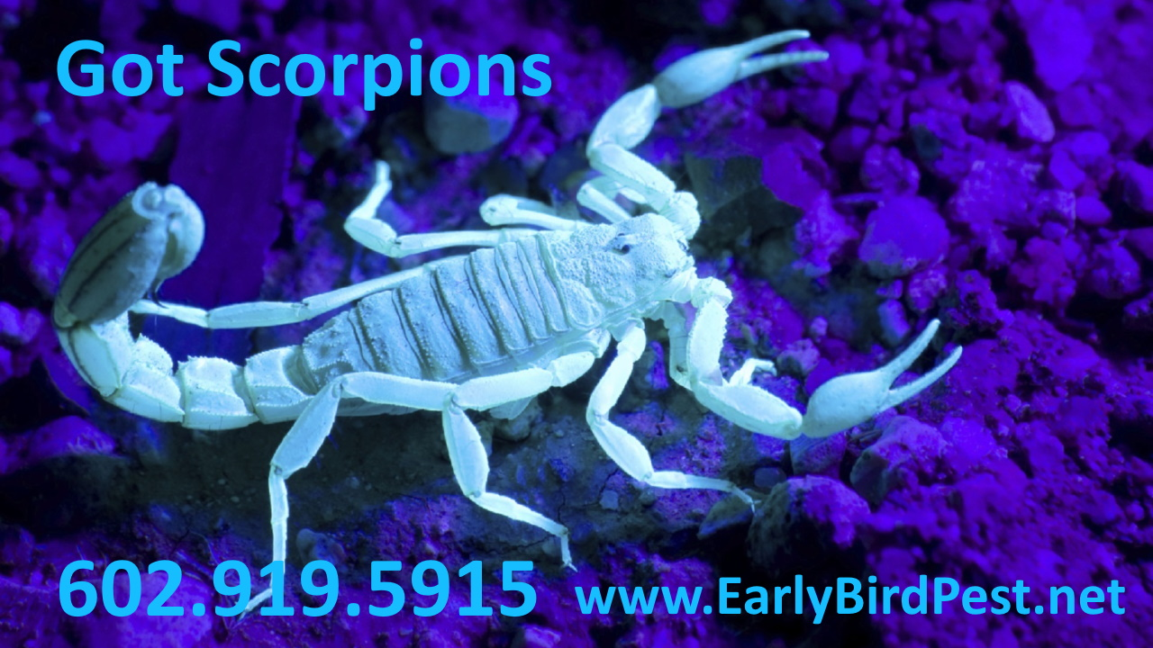 Litchfield Park Scorpion Pest Control Goodyear Peoria Avondale Buckeye Arizona