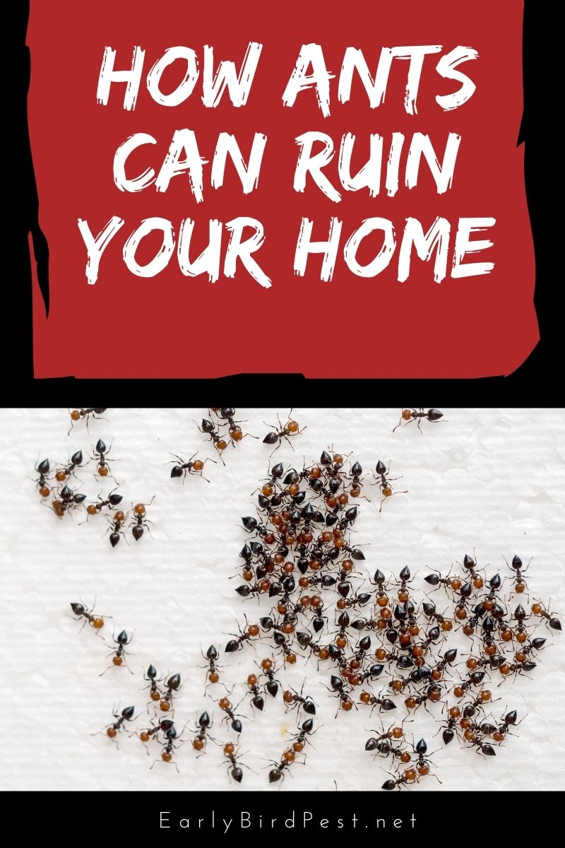 How Ants Can Ruin Your Home