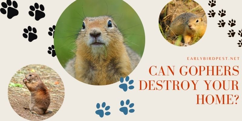 Can Gophers Destroy Your Home?