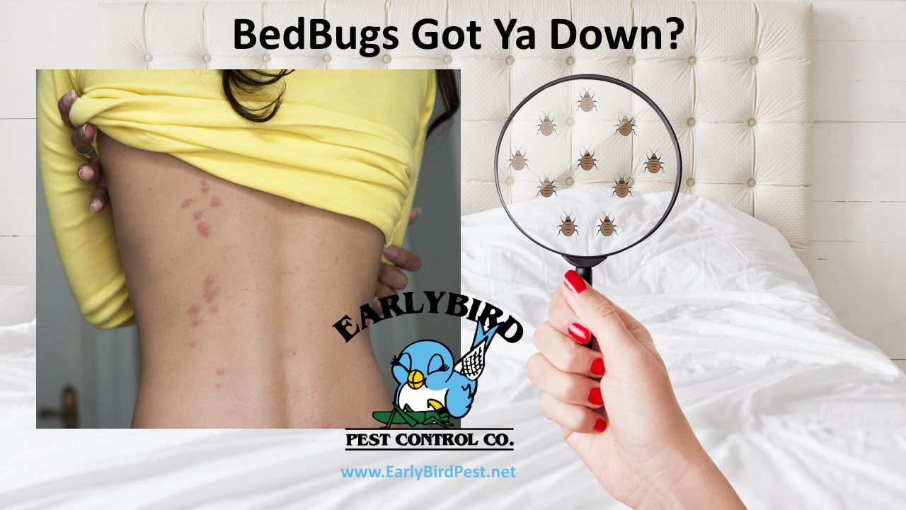 Cave Creek bedbug pest control exterminator for bed bugs in Cave Creek and Carefree AZ