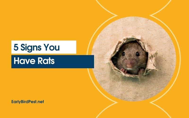 5 Signs You Have Rats