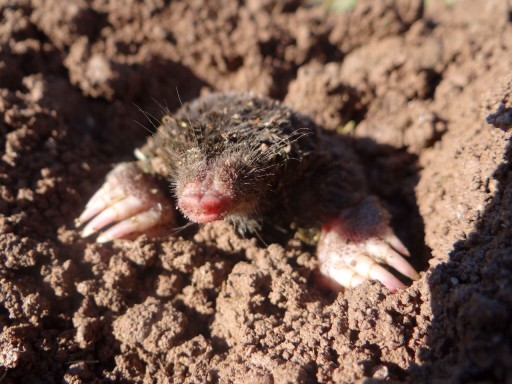 How to Prevent Moles in Your Yard