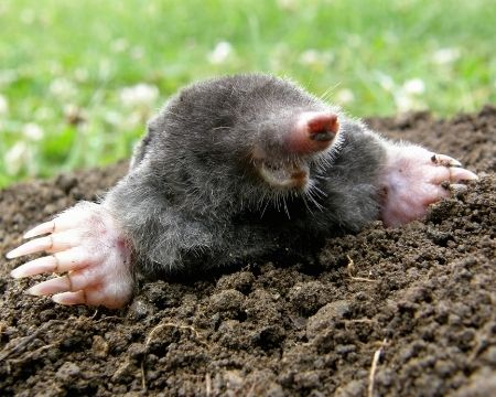 What's the Difference Between Moles and Gophers