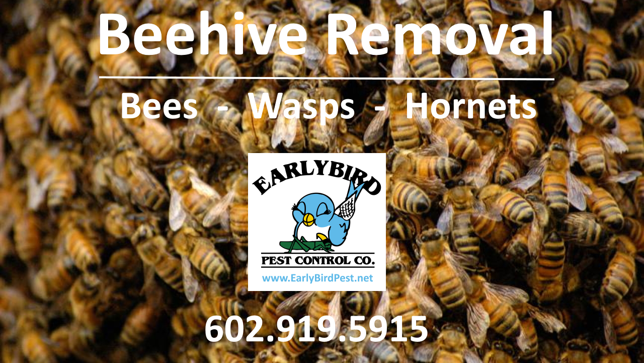 Beehive removal bee wasp hornet hive removal and pest control exterminator in Phoenix Arizona and the Phoenix Valley