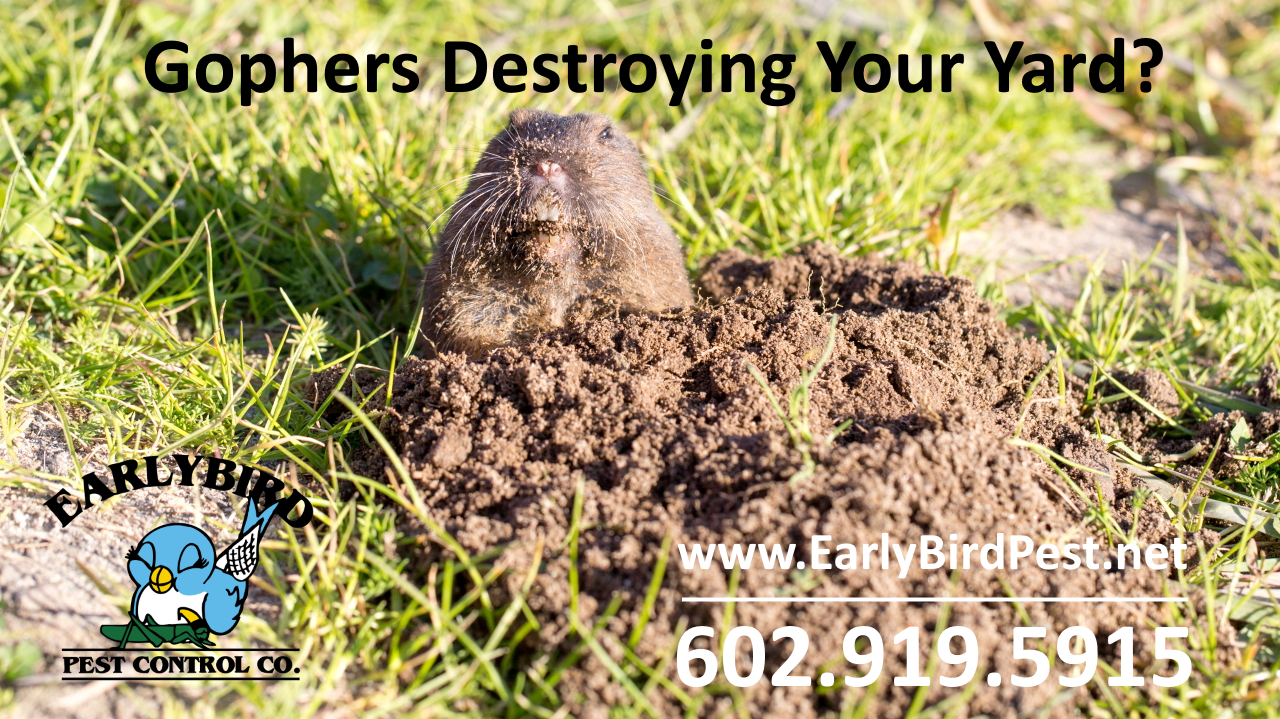 Gopher control pest control and rodent exterminator in Sun City Arizona