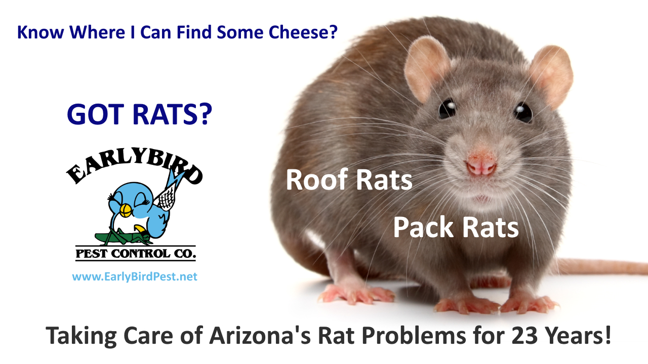 Sun City AZ rat rodent and mice exterminator and rodent gopher pack rat roof rats pest control