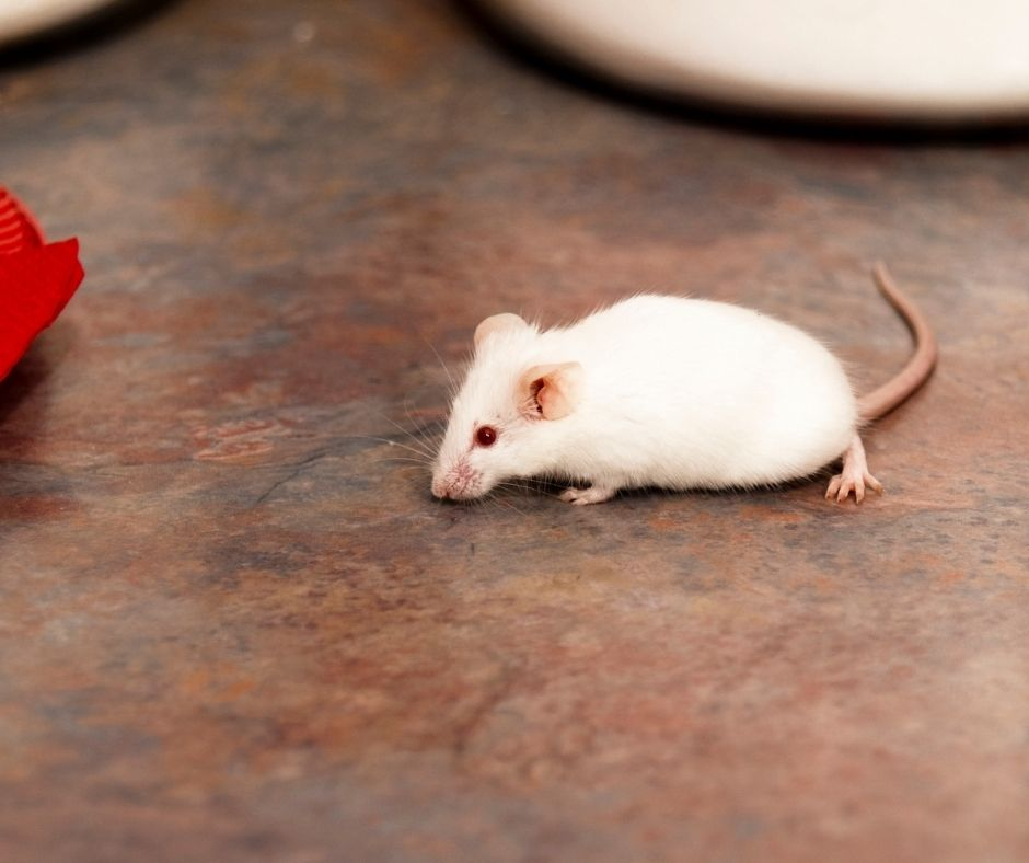 How to Tell if You Have Mice in Your Attic