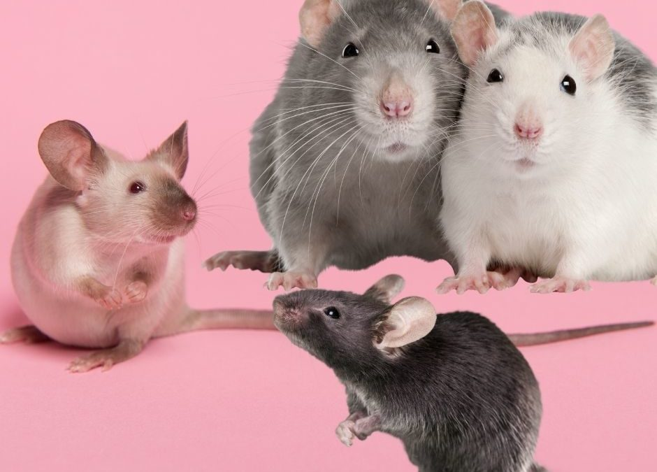 The Difference Between Rats and Mice